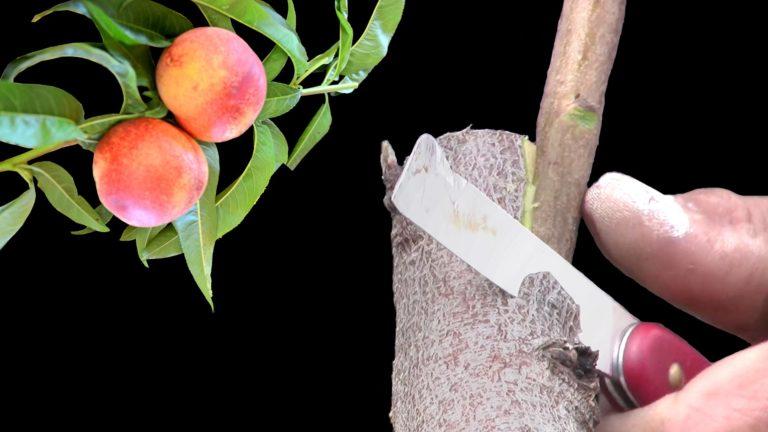 Side Grafting Peach Trees