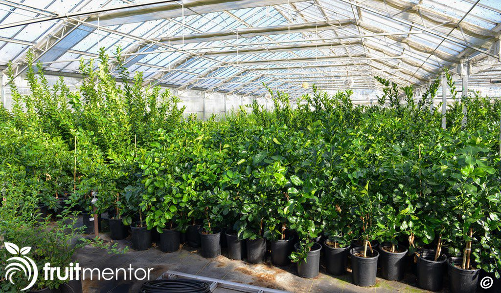 Source trees for citrus cuttings