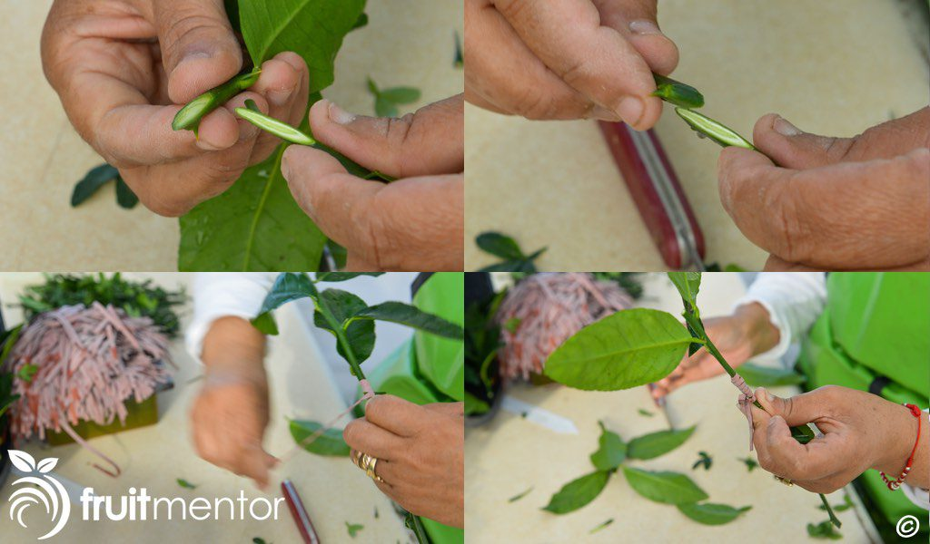Whip grafting a citrus scion to a rootstock cutting