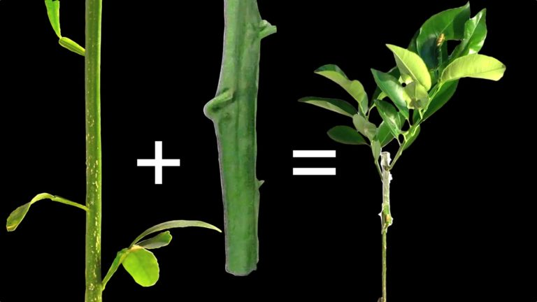 Grafting Fruit Trees Step-by-Step
